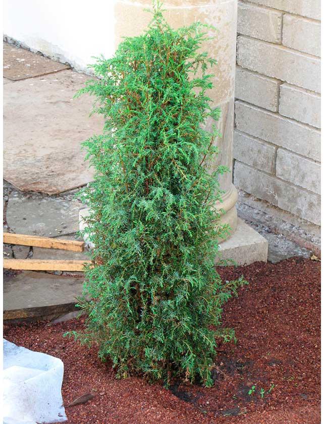 Купить Можжевельник Hibernica, С2, 20-40 см