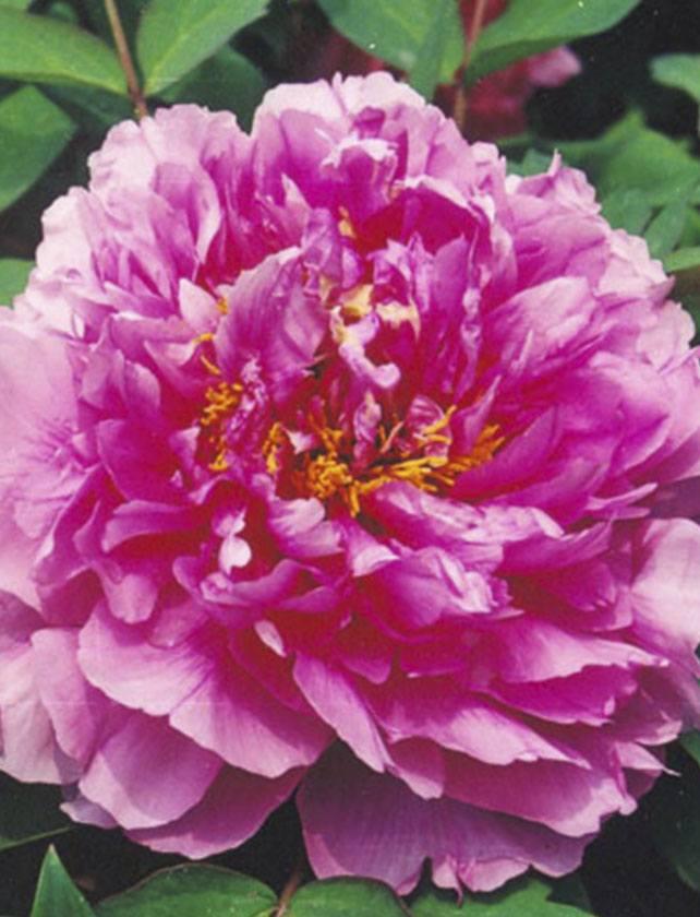 Купить Пион Древовидный Цветочная роса